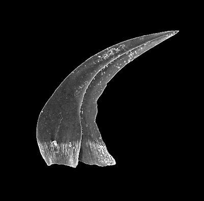 Panderodus n. sp. N Jeppsson et Männik, GIT 301-28