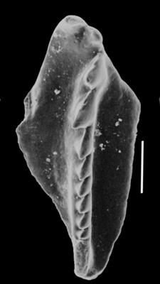 <i>Oenonites sp. C Hints, 2000</i><br />Valga 10 borehole, 319.40 m, Porkuni Stage