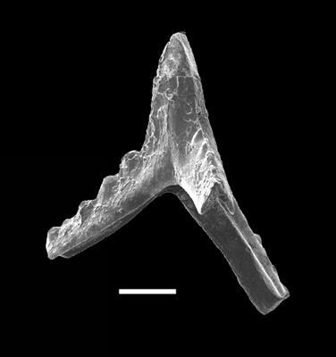 Pranognathus tenuis (Aldridge, 1972), GIT 738-5