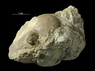 Asaphus lepidurus Nieszkowski, 1859, GIT 435-26