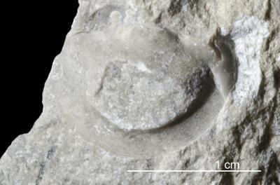 Parillaenus roemeri (Volborth, 1864), GIT 437-242