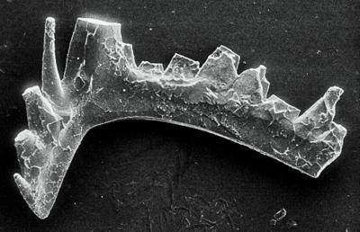 Ozarkodina excavata puskuensis Männik, 1994, GIT 254-12