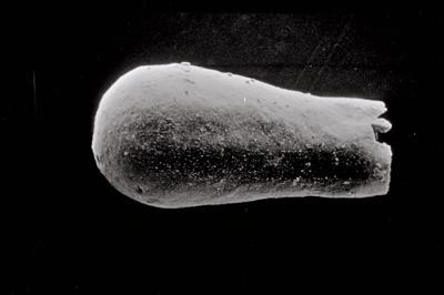 <i><i>Conochitina</i>   Conochitina aff. iklaensis Nestor, 1980</i><br />Spokoinaya River, Severnaya Zemlya, October Revolution Island ,  m, Llandovery ( 754-830)