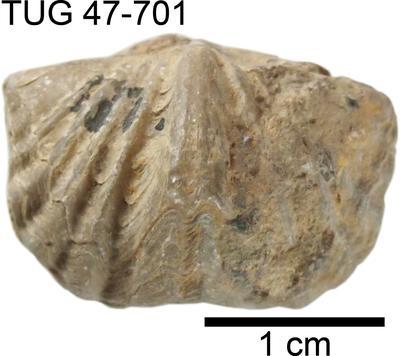 Platystrophia crassoplicata Alichova, 1951, TUG 47-701