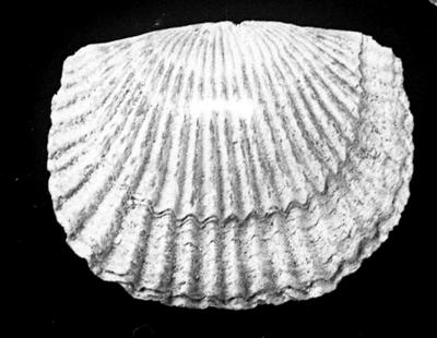 Glossorthis tacens Öpik, 1930, TUG 1054-33