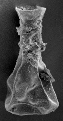 <i><i>Ramochitina tabernaculifera</i> | Gotlandochitina tabernaculifera Laufeld, 1974</i><br />Ohesaare borehole, 145.00 m, Jaagarahu Stage ( 220-66)
