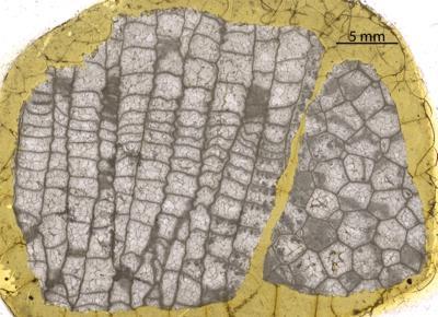 Paleofavosites cf. alveolaris (Goldfuss, 1829), GIT 88-10