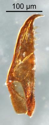 <i>Kettnerites sp.</i><br />Qusaiba 1 borehole, 497.80 m, Upper Ordovician