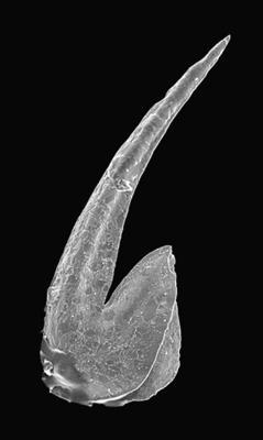 Paroistodus proteus (Lindström, 1955), GIT 495-4