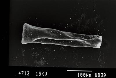 <i><i>Belonechitina latifrons</i> | Belonechitina aff. latifrons</i><br />Gussev 1 borehole, Kaliningrad oblast, 1388.60 m, Paadla Stage ( 754-72)