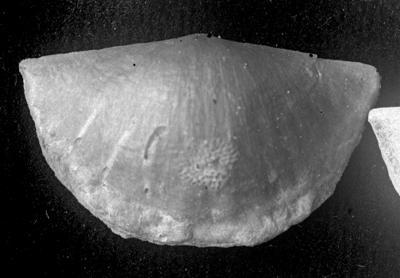 Sowerbyella (Sowerbyella) raegaverensis Rõõmusoks, 1959, TUG 1054-111