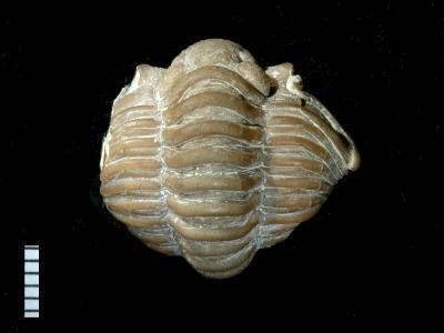 Calymene blumenbachi Brongniart, 1822, GIT 174-33