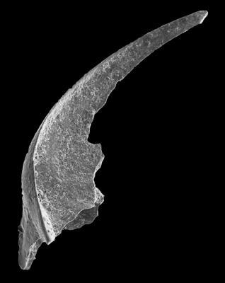 Oistodus lanceolatus Pander, 1856, GIT 594-27