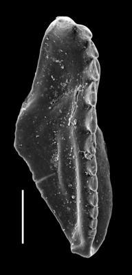 <i>Oenonites jennyensis Eriksson, 1997</i><br />Paatsalu 527 borehole, 97.60 m, Llandovery