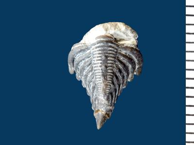 Encrinurus ruhnuensis Männil, 1978, GIT 177-34