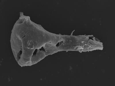 <i><i>Ancyrochitina plurispinosa</i></i><br />Kolka 54 borehole, 473.80 m, Jaagarahu Stage ( 754-1254)