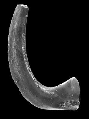 Drepanodus cf. arcuatus Pander, 1856, GIT 594-123