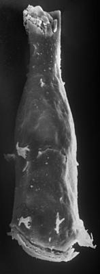 <i><i>Ancyrochitina</i> | Ancyrochitina sp.</i><br />Vängla trench, 179.60 m, Adavere Stage ( 197-20)