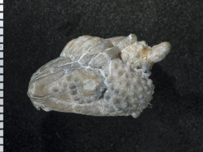 Encrinurus ruhnuensis Männil, 1978, GIT 177-35