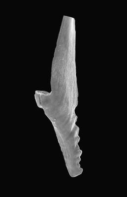 Prioniodus elegans Pander, 1856, GIT 495-62