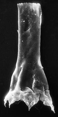 <i><i>Chitinozoa</i> | Clathrochitina cf. clathrata Eisenack, 1959</i><br />Jaagarahu borehole, 59.60 m, Adavere Stage ( 273-10)