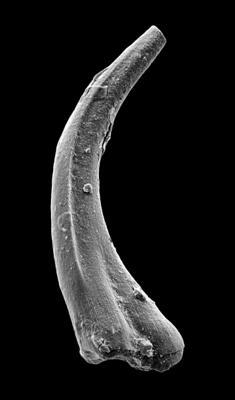 Panderodus sulcatus (Fåhraeus, 1966), GIT 449-51