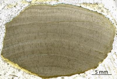 Densastroma pexisum (Yavorsky, 1929), GIT 333-77