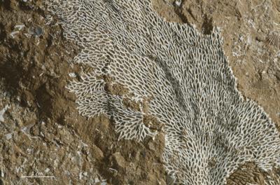 Chasmatopora papillosa (Bekker, 1921), GIT 398-77