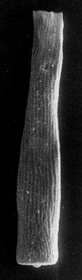 <i><i>Conochitina rugata</i></i><br />Põltsamaa H-39 borehole, 125.00 m, Pirgu Stage ( 190-8)