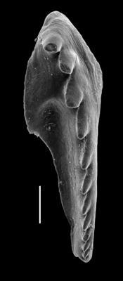<i>Pistoprion sp. A Hints et al., 2006</i><br />Paatsalu 527 borehole, 97.60 m, Llandovery