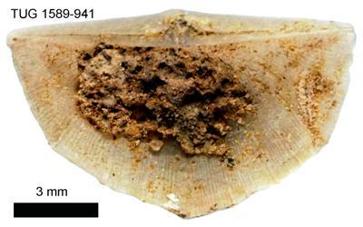 Sowerbyella (Viruella) liliifera Öpik, 1930, TUG 1589-941