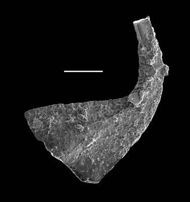 Dapsilodus sp. n. R., GIT 688-72