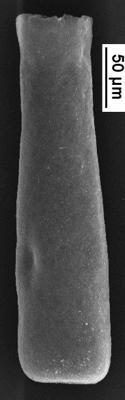 <i><i>Conochitina alargada</i></i><br />Staicele 4 borehole, 321.00 m, Adavere Stage ( 350-1)