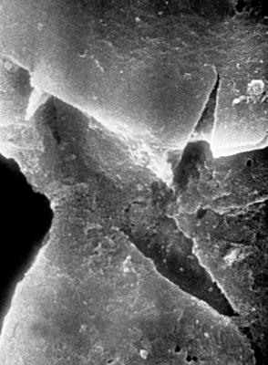 <i><i>Chitinozoa</i> | Conochitina cf. visbyensis Laufeld, 1974</i><br />Jaagarahu borehole, 44.60 m, Jaani Stage ( 197-11)