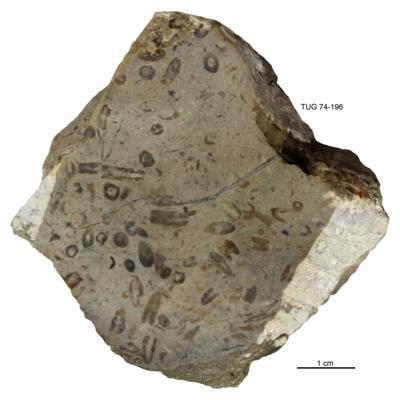 Dasyporella sp., TUG 74-196