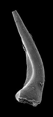 Semiacontiodus carinatus Dzik, 1976, GIT 449-64