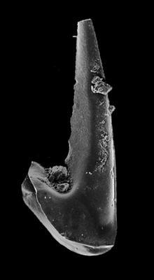 Drepanoistodus suberectus (Branson et Mehl, 1933), GIT 549-80