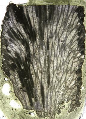 Batostoma granulosum Bassler, 1911, GIT 537-873