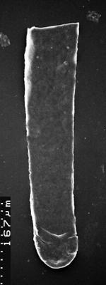 <i><i>Chitinozoa</i></i><br />,  m,  ( 1532-91)