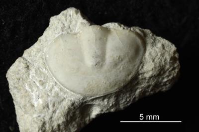 Symphysurus sp., GIT 437-411