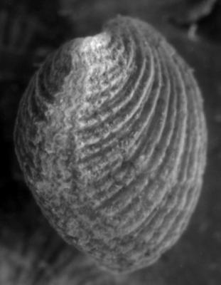Cremnorthis uhakuana Hints, 1968, GIT 149-4