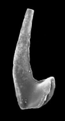 Drepanoistodus basiovalis (Sergeeva, 1963), GIT 342-84