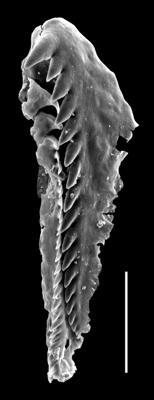 <i>Tetraprion sp. A Hints et al., 2006</i><br />Paatsalu 527 borehole, 97.60 m, Llandovery