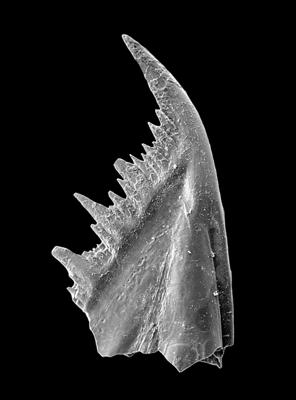 Baltoniodus variabilis (Bergström, 1962), GIT 449-33