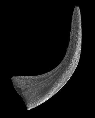 Panderodus greenlandensis Armstrong, 1990, GIT 583-21