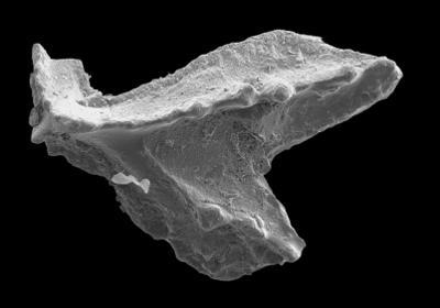 Lenodus variabilis (Sergeeva, 1963), GIT 594-58