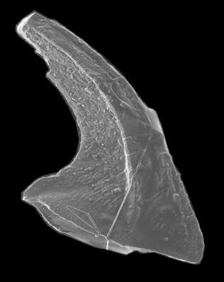 Paltodus subaequalis Pander, 1856, GIT 594-8