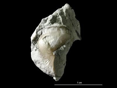 Brachytomaria baltica (Verneuil, 1845), GIT 222-107