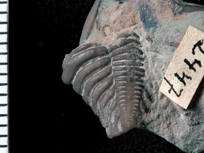 Encrinurus (Encrinurus) schisticola Törnquist, 1884, GIT 108-13