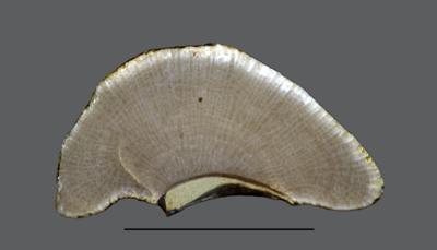 Stigmatella massalis Bassler, 1911, GIT 105-21